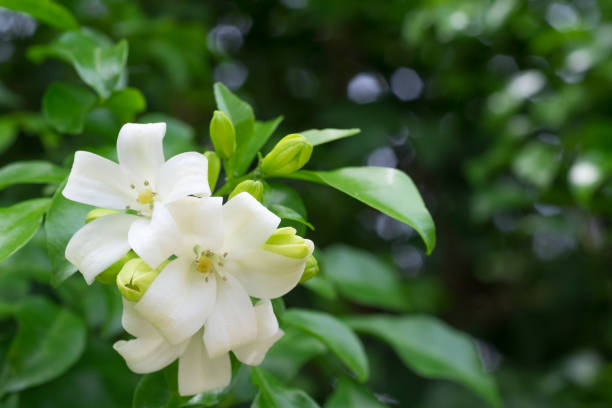 How To Grow Murraya Paniculata